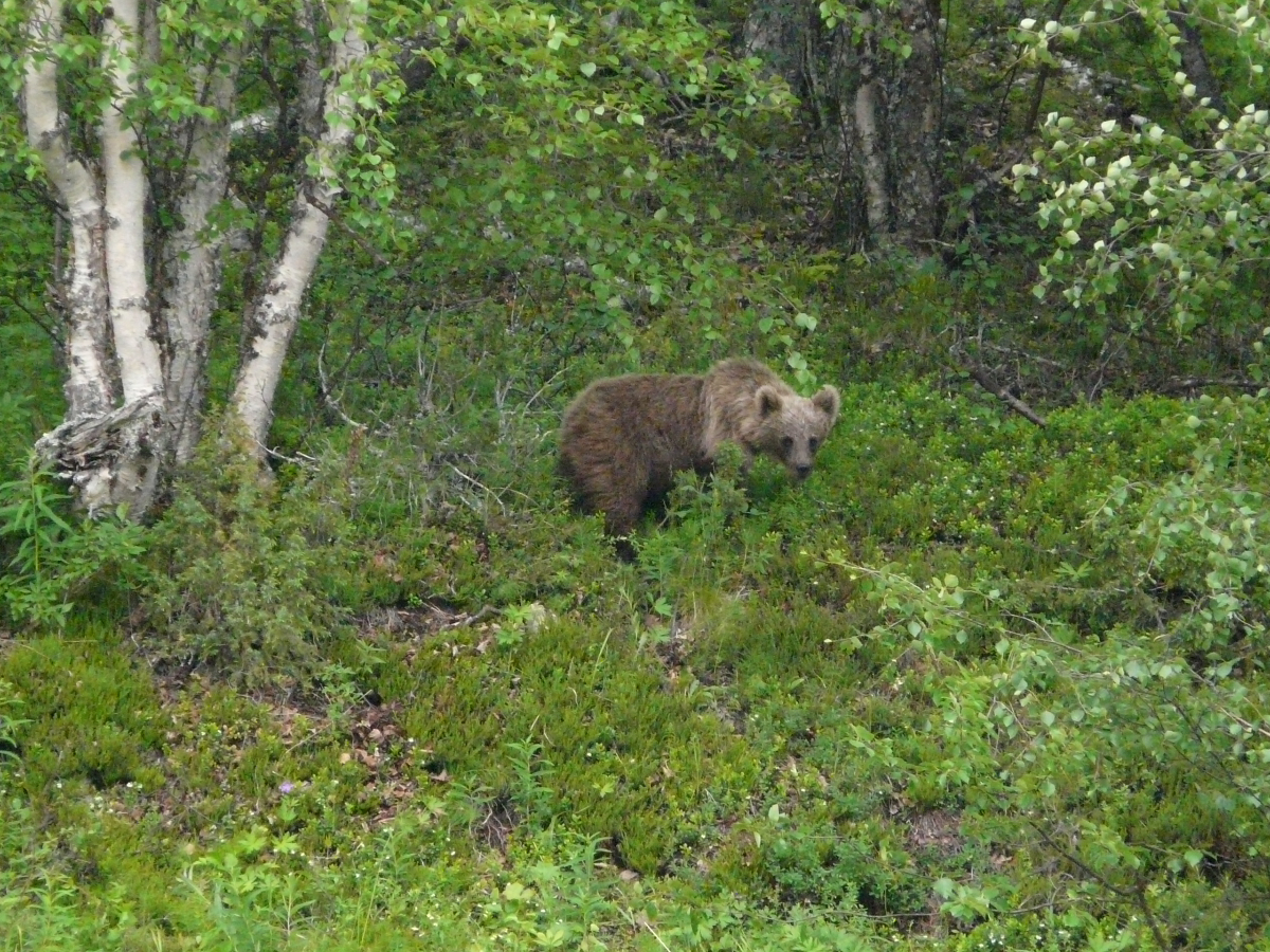 A rare glimpse of the very elusive Kola Peninsula Brown Bear